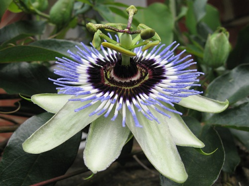 passion-flower-passiflora-clear-sky